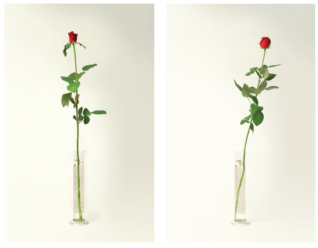 Roses two up